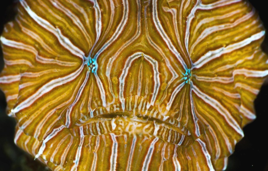 424221-tropical-fish-underwater-sea-life-psychedelic-frogfish-histiophryne-psychedelica